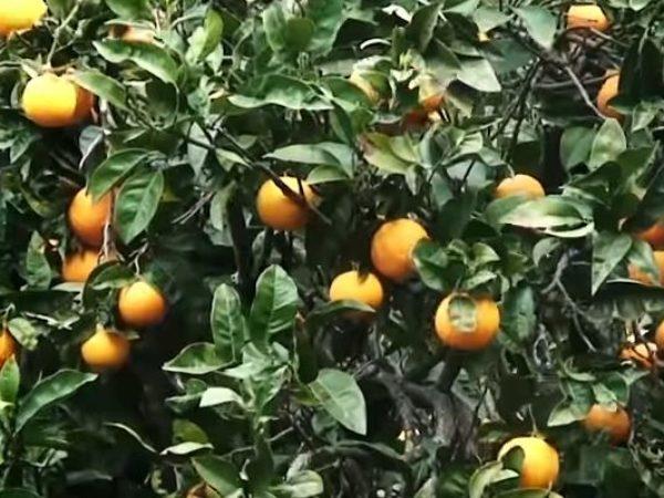 Naranjas de Valencia: más que un Origen